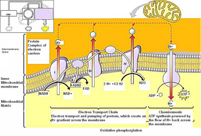 Electron transport chain diagram worksheet auto electrical wiring electron transport chain diagram detailed simple electronic rh wiringdiagramone today electron transport chain enchanted learning spectrophotometer ccuart Image collections
