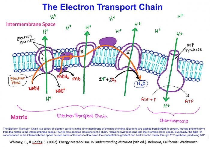 Electron Transport Chain Diagram Snapshot – Studiootb