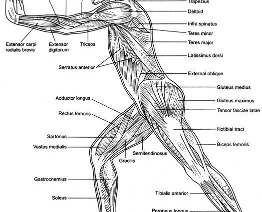 How The Body Works The Muscles Worksheet Answers Worksheets For