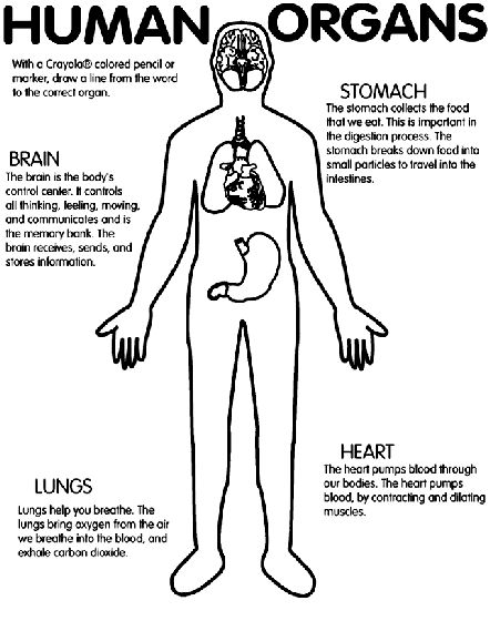 Human Body Worksheets Worksheets For All