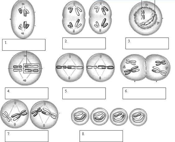 Mitosis Phases Worksheet