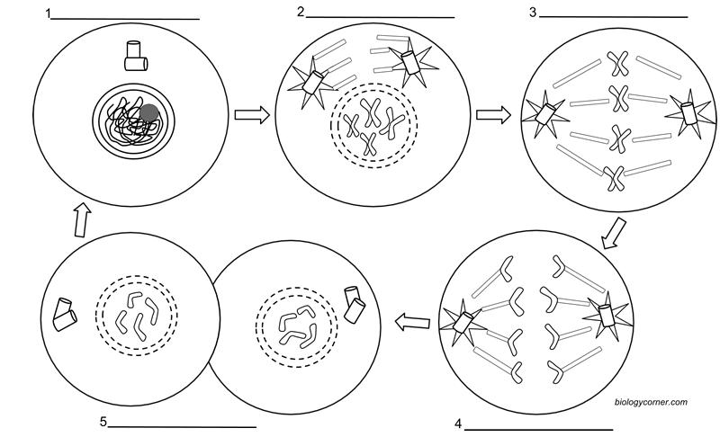Mitosis Worksheet Mitosis Coloring Free