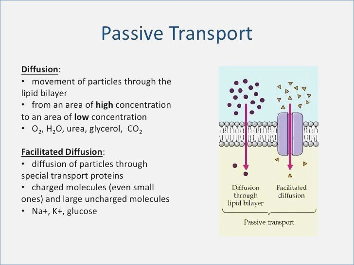 Movement Across The Cell Membrane Movement Materials Through