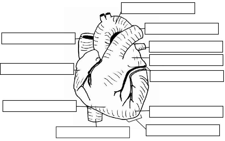 Notes  Heart And Circulatory System