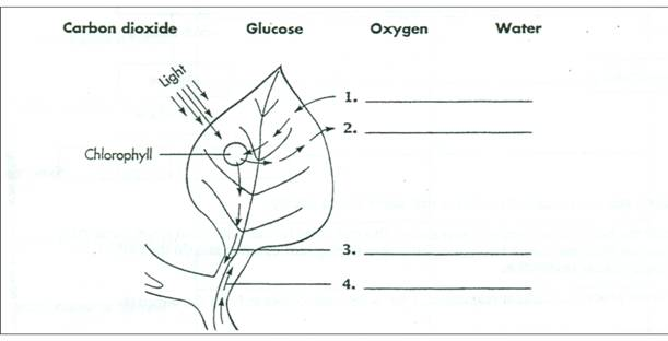 Photosynthesis Diagram Worksheet Worksheets For All