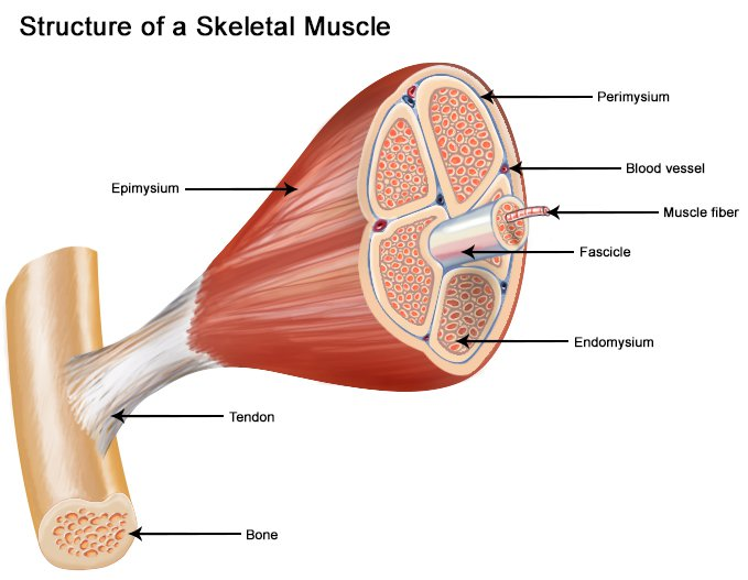 Seer Training  Structure Of Skeletal Muscle