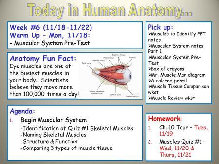 Skeletal Muscle Functions