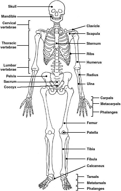 Skeletal System Worksheet Skeletal System Worksheet Answers