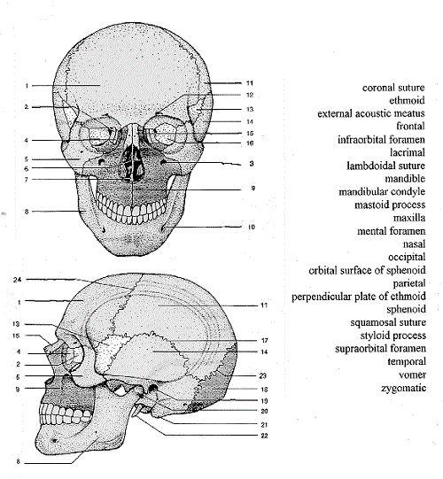 Skull Anatomy, Skulls And Anatomy On Free Worksheets Samples