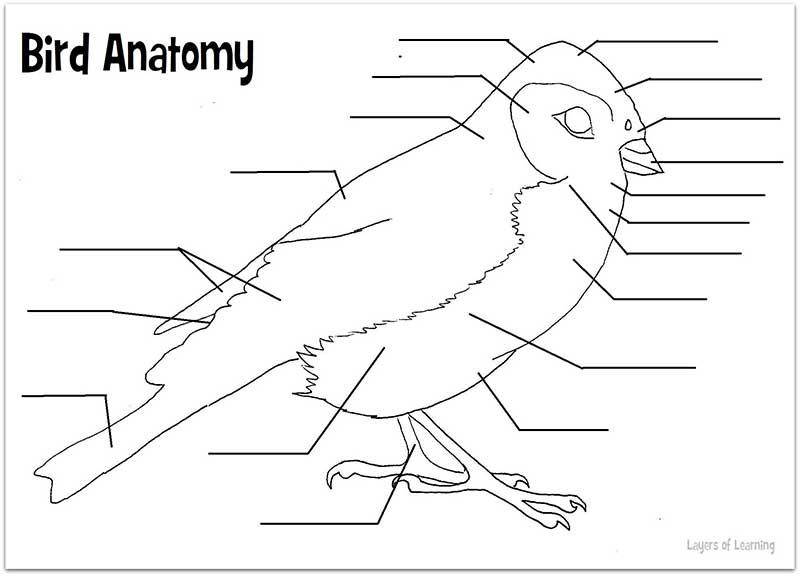 Anatomy Of A Bird Worksheet – Tweetboard