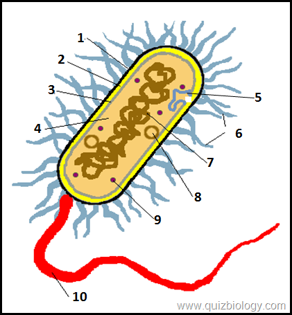 Bacterial Cell Worksheet Cum Diagram Quiz  Know More About Amazing