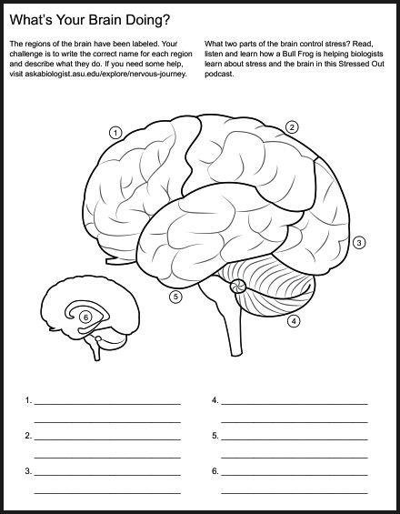 Brain Worksheet High School Worksheets For All
