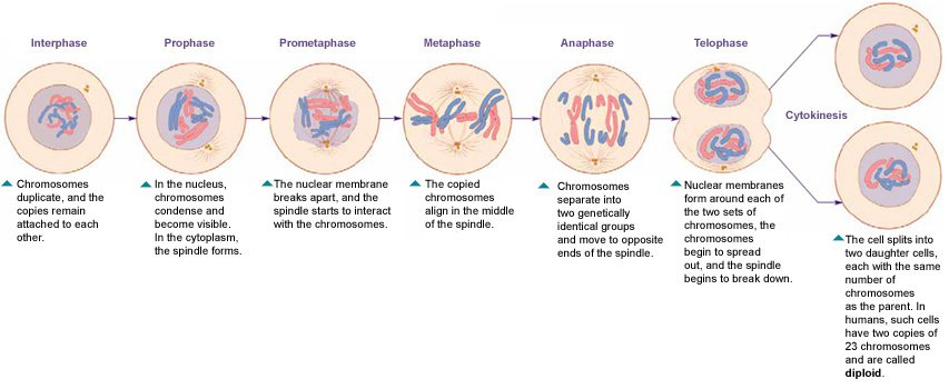 Cell Cycle And Mitosis Worksheet The Cell Cycle And Mitosis