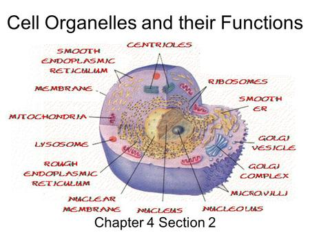 Cells And Their Organelles Worksheet Cell Organelles Ppt Video