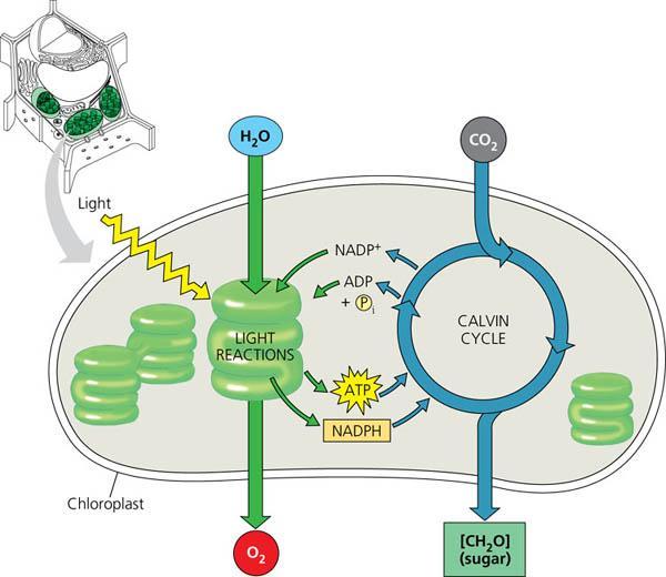 Chloroplast Diagram Worksheets
