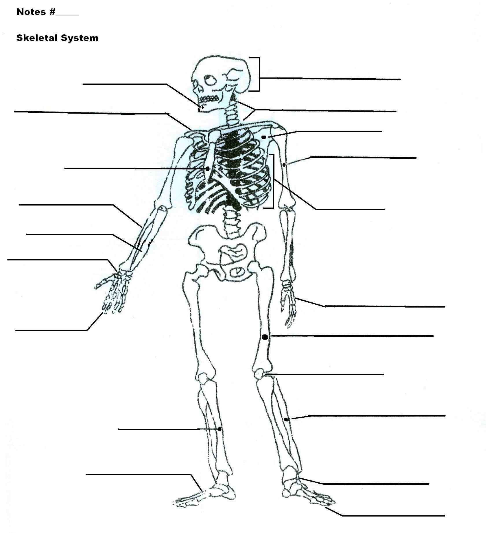 Collection Of Skeleton Worksheets