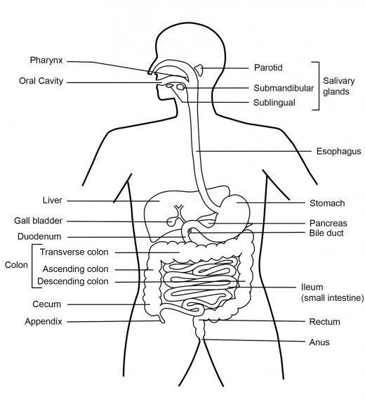 Digestive System Diagram Worksheet Digestive System Diagram