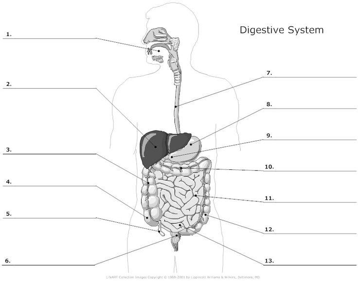 Digestive System Diagram Worksheet Worksheets For All
