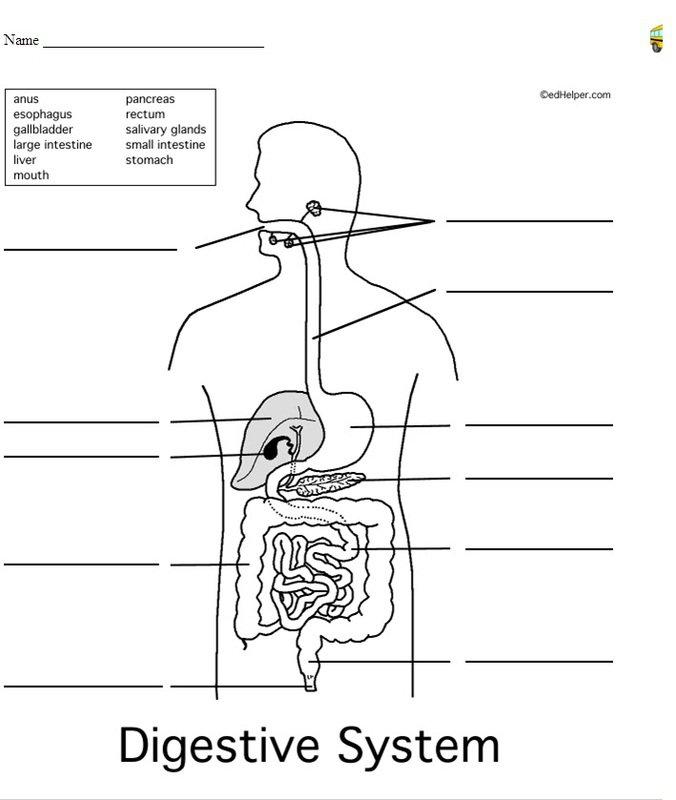 Digestive System Labeling Worksheet