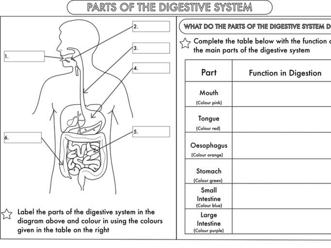 Digestive System Worksheet Year 4 Science Animals Including Humans