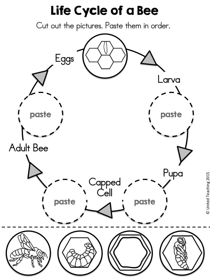 Honey Bee Life Cycle Worksheet The Best Worksheets Image