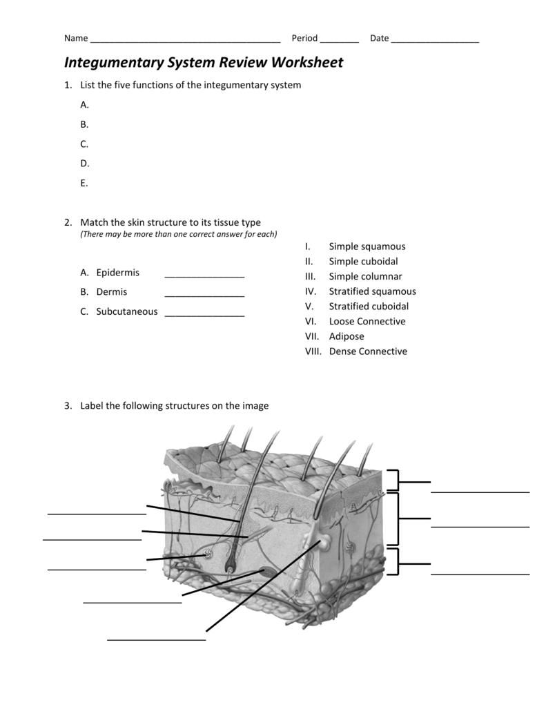 Integumentary System Diagram Worksheet The Best Worksheets Image