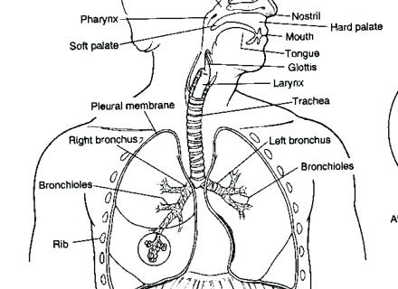 Respiratory System Coloring Page Respiratory System Coloring Page