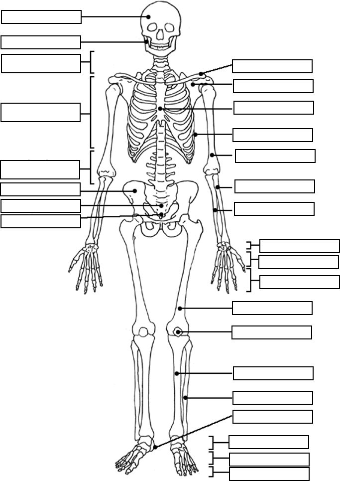 Skeletal System Coloring Sheets