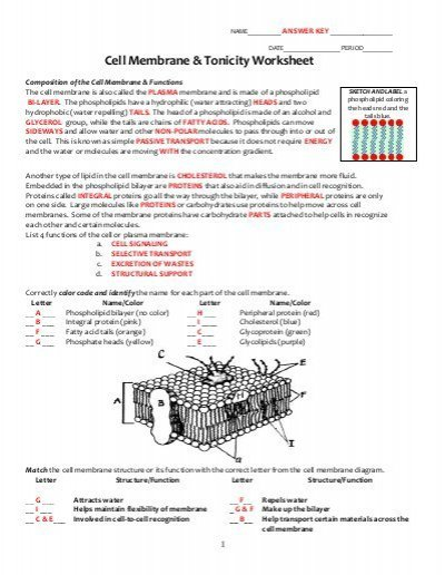 Worksheets 41 Awesome Cell Transport Review Worksheet High
