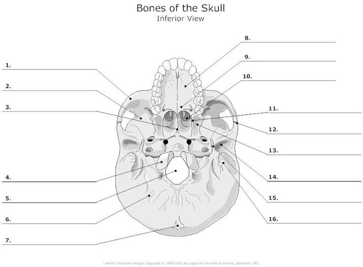 12 Best Skeleton Images On Free Worksheets Samples