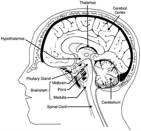 2 Major Structures And Functions Of The Brain