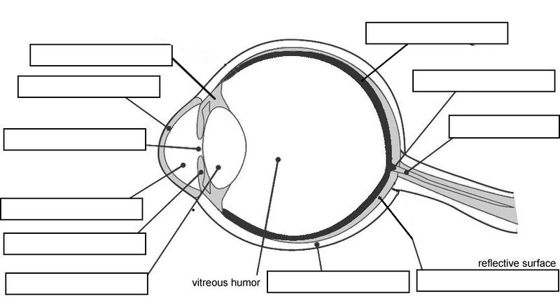 Anatomy Of Eye Worksheet Cow Diagram Thinglink – Heritance Me