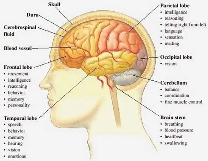 Brain Structure And Function Worksheet The Best Worksheets Image