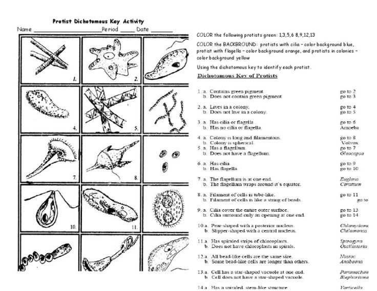 Dichotomous Key Worksheet For Bacteria