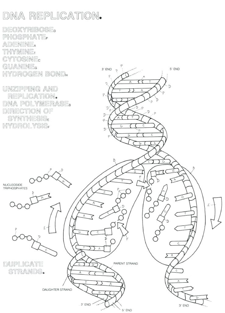 Dna Transcription And Translation Worksheet Answers - Free ...