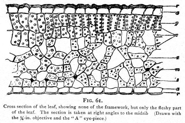Fig  061  Cross Section Of The Leaf