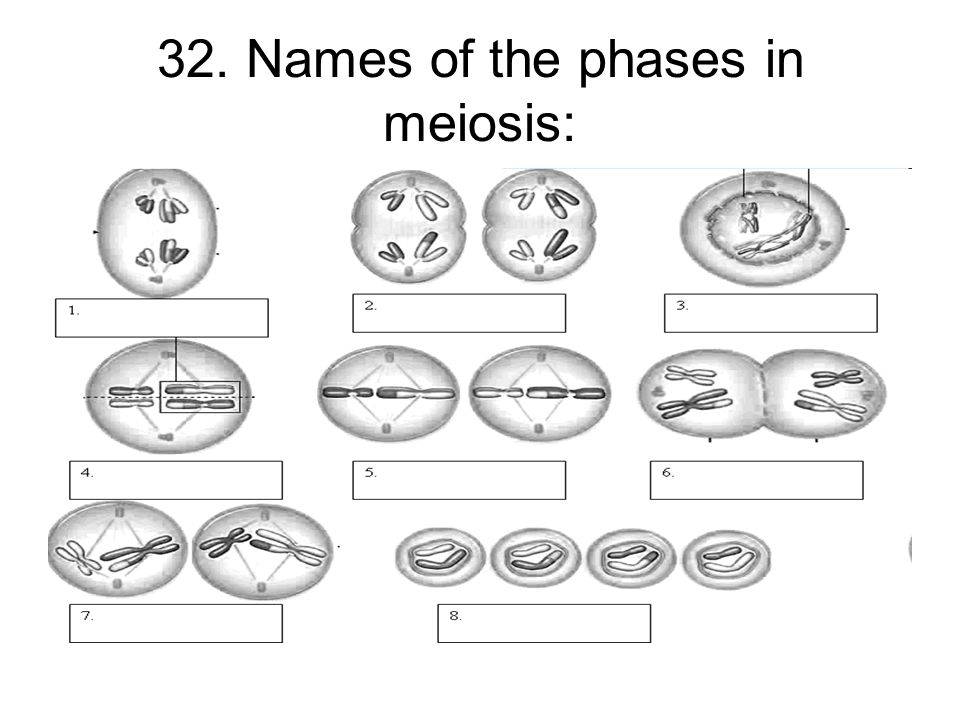 Meiosis Worksheet Meiosis Worksheet Chapter 10 Mendel And Meiosis