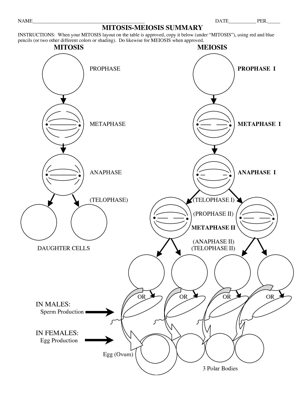 Mitosis Vs Meiosis Worksheet Com And