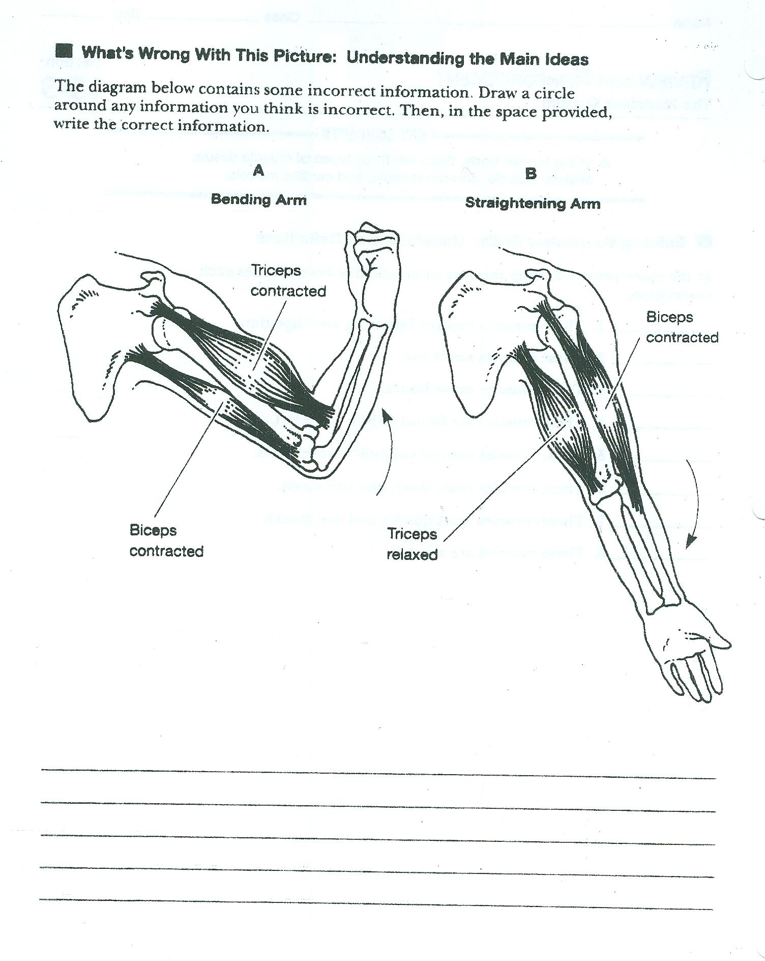 Muscular System Worksheets And Human Body Worksheet