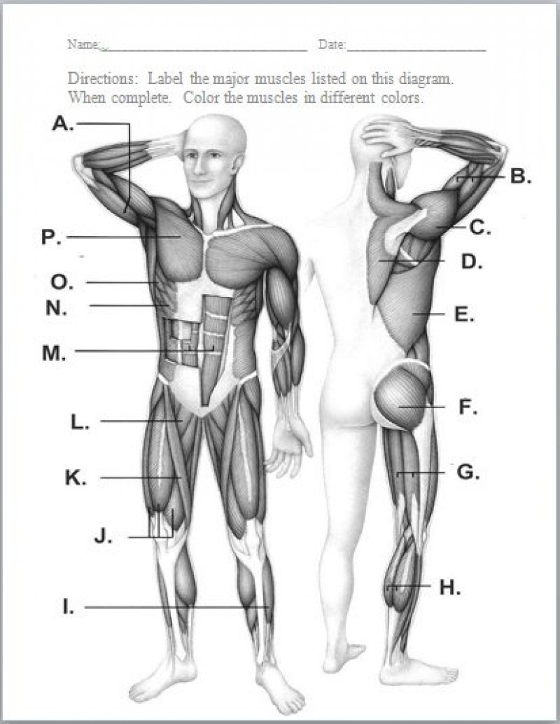 Muscular System Worksheets The Best Worksheets Image Collection