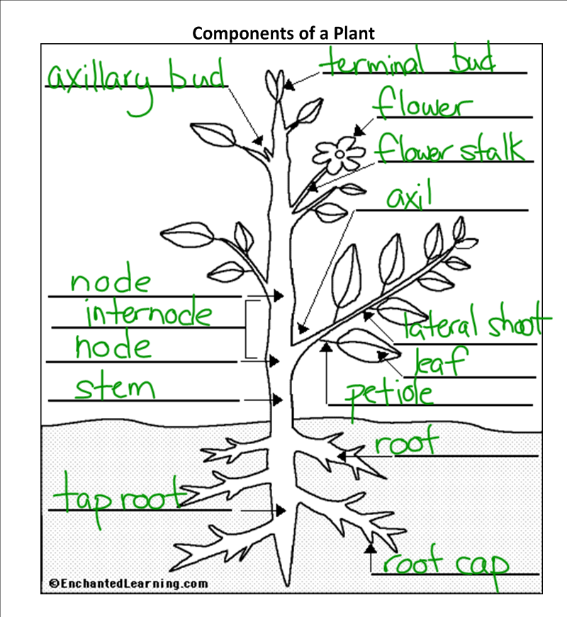 Plant Parts And Functions Worksheet   Free Worksheets Samples
