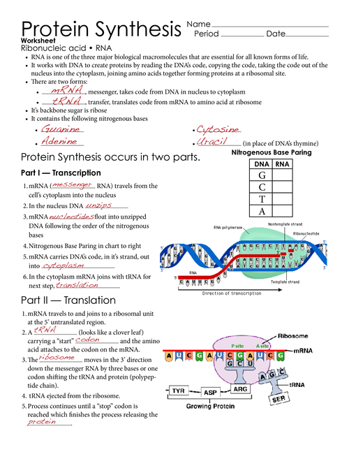 Protein Synthesis Worksheet College Paper Service Pltermpaperqzdy
