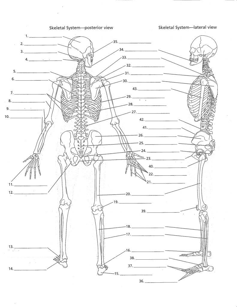 Recent Printable Anatomy Labeling Worksheets At Best Anatomy Learn