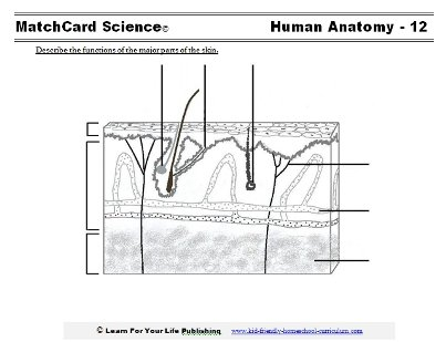 Skin Anatomy Diagram Worksheets