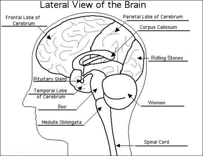 Structure Of The Brain Worksheet The Best Worksheets Image