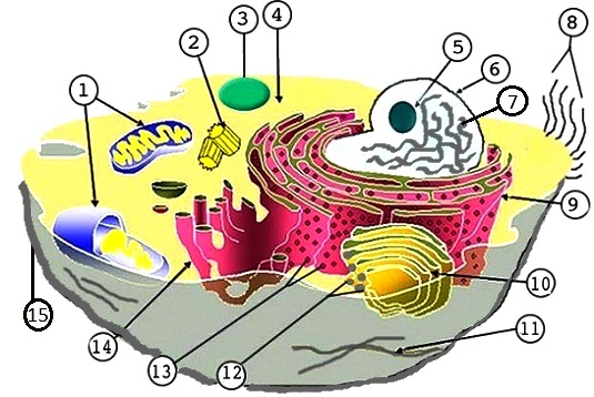 Animal And Plant Cell Labeling Key