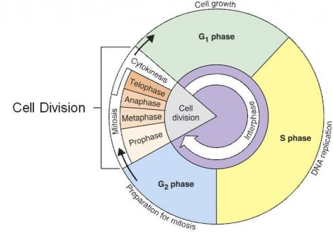 Cell Cycle Coloring Worksheet The Best Worksheets Image Collection