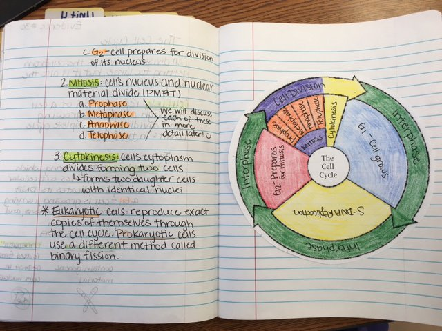 Cell Cycle Coloring Worksheet The Cell Cycle Coloring Worksheet