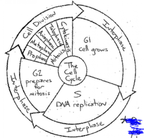 Cell Cycle Worksheet The Cell Cycle Worksheet Phases Of The Cell