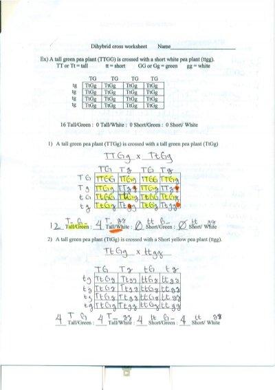 Dihybrid Cross Worksheet Answers Dihybrid Cross Worksheet Answers